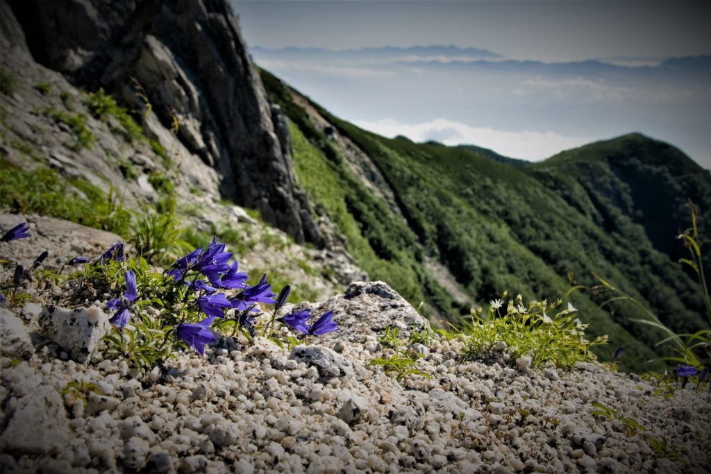 Alpine plants such as Campanula bloom during the short summer.