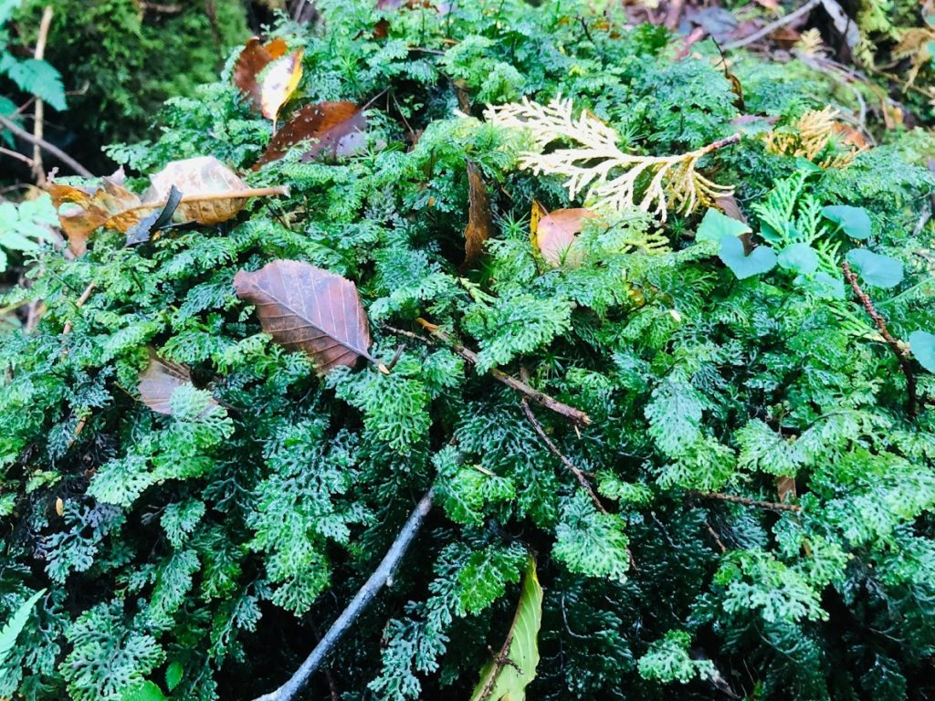 The land of Aokigahara is almost covered with beautiful green moss.